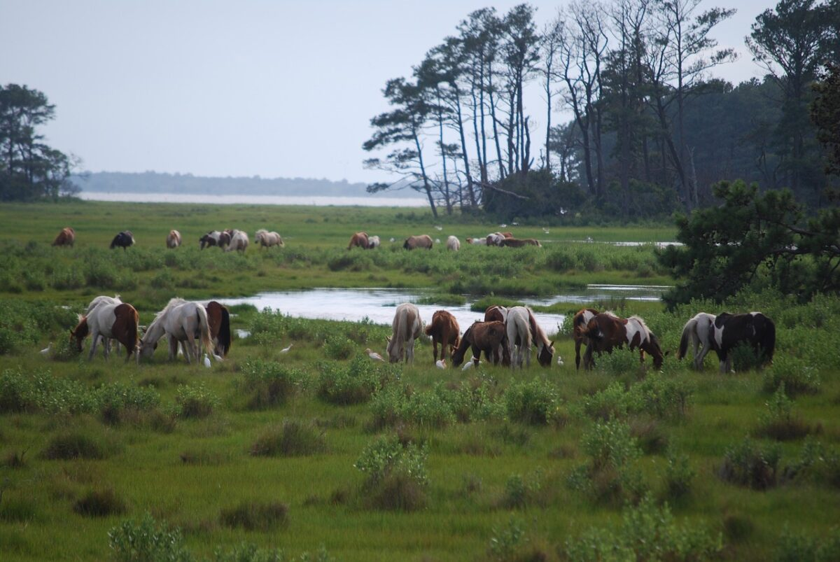 Chincoteague Island ponies